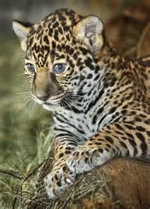 Jaguar Baby Blue Ol Blue Blue And Ol