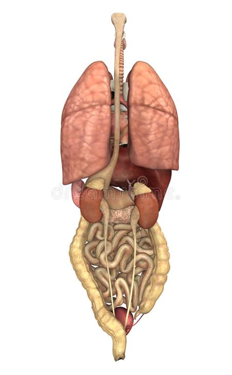 organi interni organi interni da dietro fotografia stock immagine 18054122