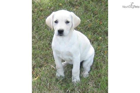white lab puppies for sale in va labrador retriever puppy for sale near hton roads virginia fce36b0d 0871