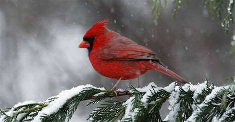 cardinal state bird of north carolina north carolina