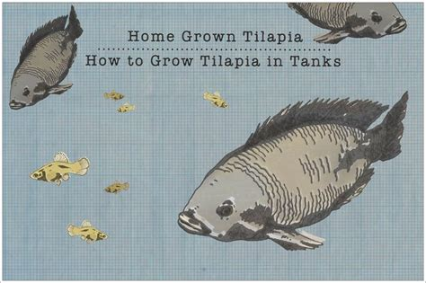 raising tilapia in your backyard how to raise tilapia in the backyard 130 best images about fish farming on pinterest