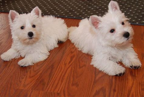 westie puppies adorable akc westie puppies in hoobly classifieds