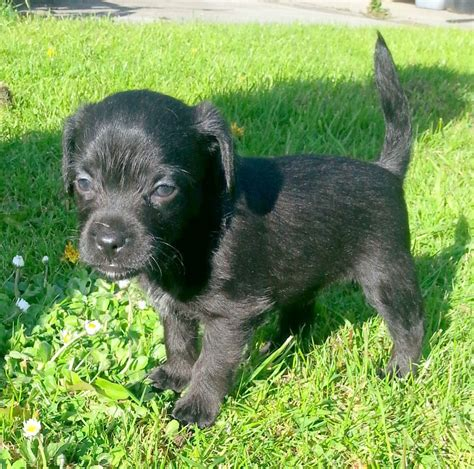 patterdale puppies patterdale terrier puppies for sale in west