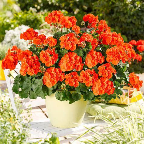 geranien pflanzen ab wann g 228 rtner p 246 tschkes orangen geranie g 228 rtner p 246 tschke