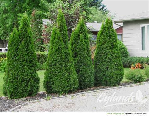Garten Sichtschutz Pflanzen 574 by Brandon Pyramidal Cedar Firepit South Side 10 20
