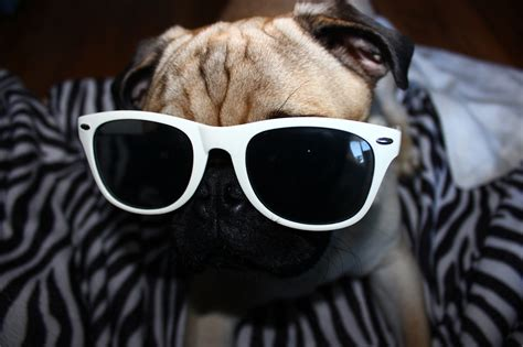 pug with sunglasses pugs with sunglasses www imgkid the image kid has it