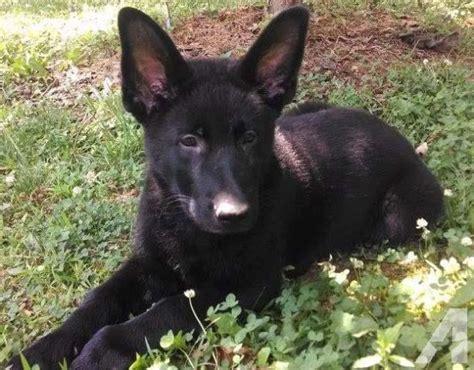 black german shepherd puppies for sale in va akc black german shepherd puppy for sale in scottsburg virginia classified
