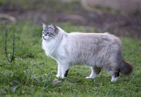Effortless Ways to Groom Your Ragdoll Cat Without All That