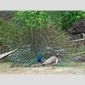 the Congo peaco...