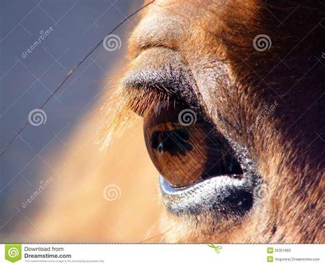 horse eye close  stock image image  hair eyelashes