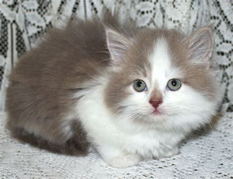 x ragdoll cat adorable ragdoll x kitten henfield west sussex