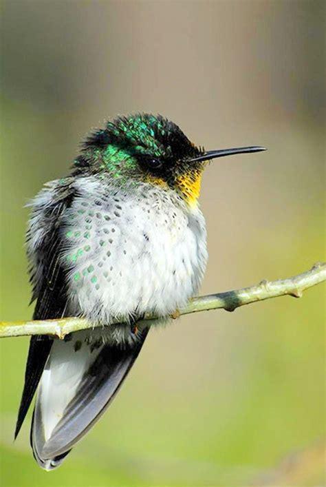 juan fernandez firecrown hummingbird hummers pinterest