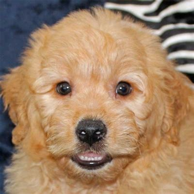 mini goldendoodles for sale in florida mini golden doodle puppy for sale in boca raton south