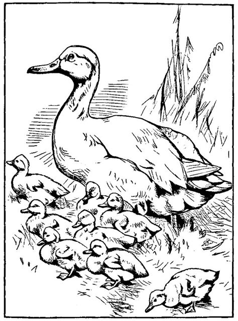ducks unlimited coloring page male and female mandarin duck ducks unlimited coloring page
