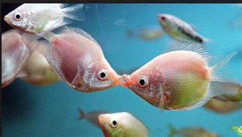 un pez dos pez 1930332831 tecnoxplora los peces que se besan para defender a muerte su territorio