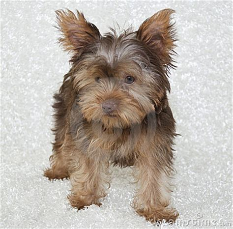 teacup yorkies for sale in springfield mo yorkie puppies terrier puppy for sale in springfield mo breeds picture