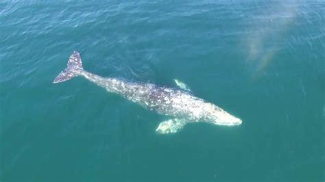 whale malibu malibu dji drone whale