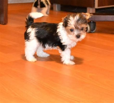 biewer yorkie for sale biewer terrier for sale nottingham nottinghamshire pets4homes