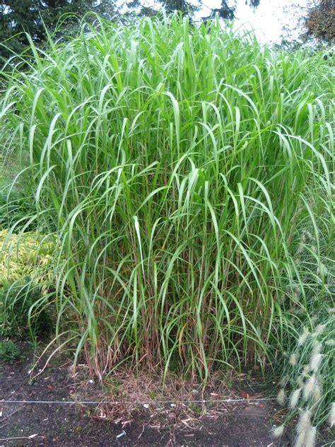 Schilfgras Als Sichtschutz Schilf Pflanzen Als Sichtschutz Tolle Bambus Sichtschutz