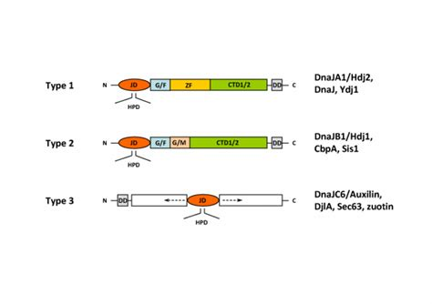j protein family figures hsp40 hsp40