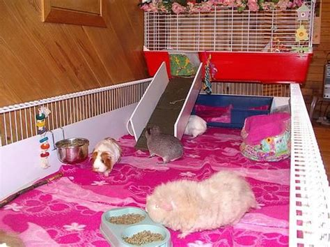 images  guinea pig housing ideas  pinterest