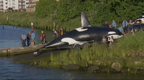 fake orca used to scare sea lions in oregon town flops