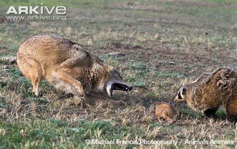 are coyotes color blind american badger photo taxidea taxus g136217 arkive
