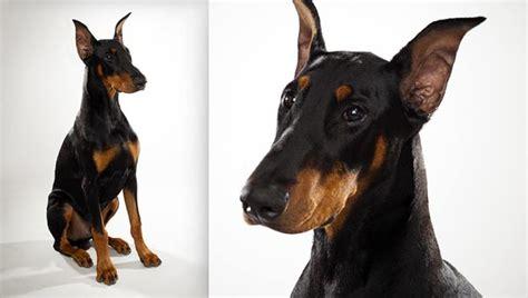 pug rescue vancouver bc breeders doberman breed dogs spinningpetsyarn