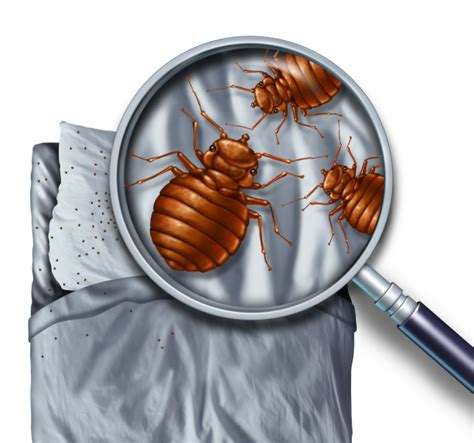 What Like In Bed by What Do Bed Bugs Look Like Ask Mr