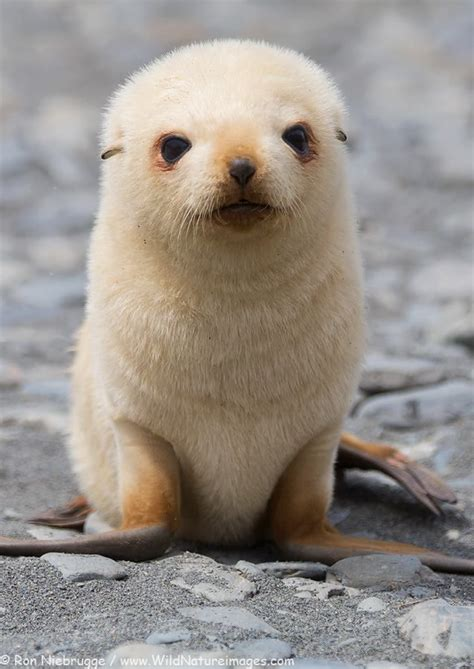 seal best of 25 best ideas about baby seal on seals