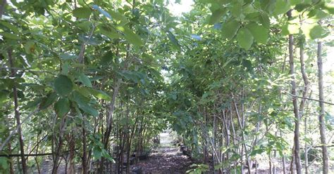 big trees for sale trees that nursery big trees on sale at trees that