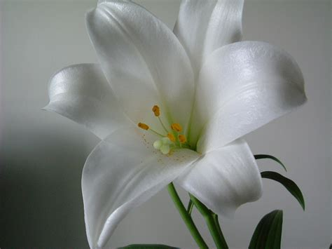 aimy s collection wallpapers images screensavers white lily flowers