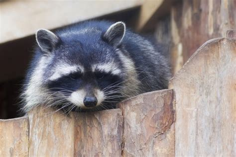 how to get rid of a raccoon in your backyard how do you get rid of a raccoon raccoon prevention tips
