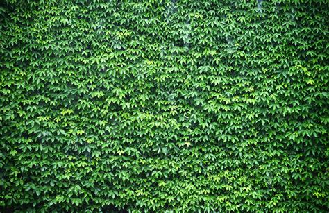 green wallpaper for walls wall of green ivy wallpaper wall mural muralswallpaper co uk