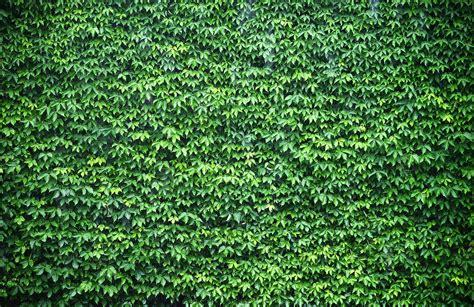 Wall of Green Ivy Wallpaper Wall Mural   MuralsWallpaper.co.uk
