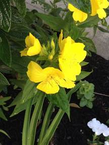 Yellow Garden Flowers Identification Plant Identification Closed Yellow Flower Thin Leaves 2 By Rarri