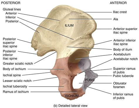 hipbone section image gallery ischial spine anatomy