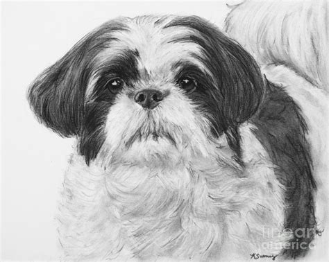 how to draw a shih tzu detailed shih tzu portrait drawing by kate sumners