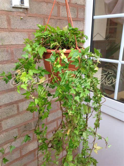 climbing plants for walls evergreen hedera evergreen hardy wall climbing hanging