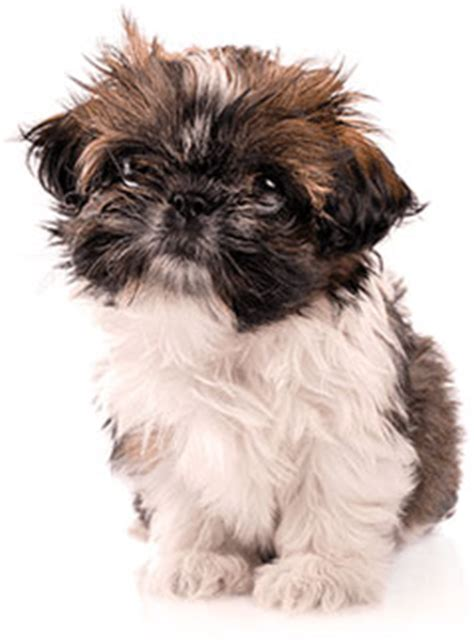 5 lb shih tzu royal canin shih tzu puppy food 2 5 lb bag chewy