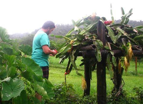 dragon fruit farms hawaii