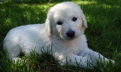kuvasz puppies kuvasz all big breeds