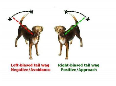 swing significato perch 233 i cani scodinzolano come capire i movimenti della