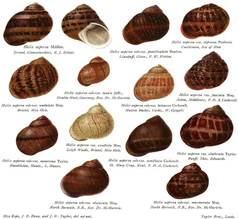 different types of snails in the garden fidgety fingers which garden snail is edible