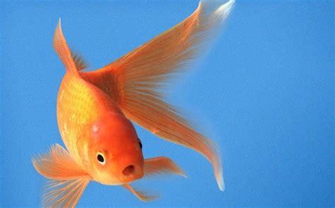 make new year goldfish goldfish make to live sans o2 odishasuntimes