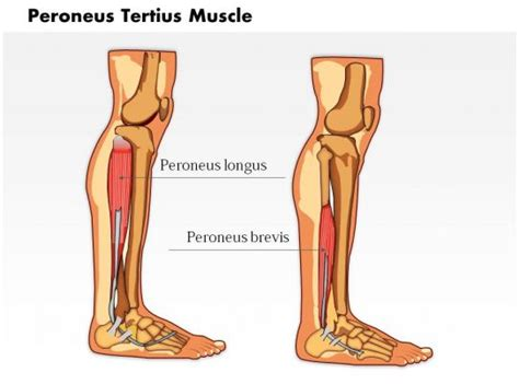 peroneus tertius muscle medical images  powerpoint powerpoint