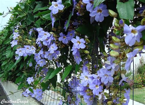 Courtyard Plans Tumbergia Azul Thumbergia Grandiflora Flores E Folhagens