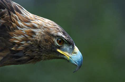bald eagle birds guide golden eagle audubon field guide