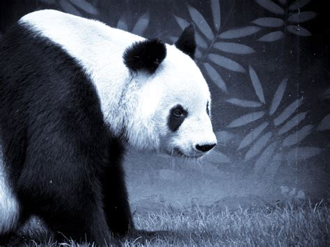 Blue Black And Wight Panda | black and white panda bear in black and white with bamboo