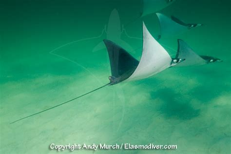 lesser devil ray atlantic devilray mobula ray pictures images mobula hypostoma